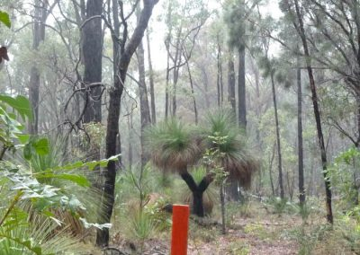 Alcoa exploratory drill peg amongst Grasstrees and Sheoak in Serpentine Forest Block