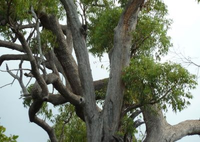Healthy Jarrah crown