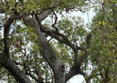 Hollow developing in branch of large Jarrah tree