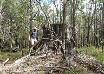Very large Jarrah stump. A historic feature and an indicator of the large growth potential for Jarrah in this site